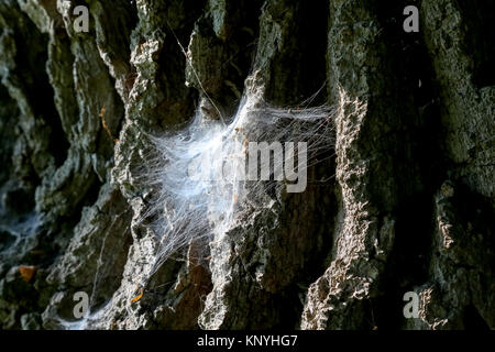 The spiderweb is on a bark of an old tree - Stock Image