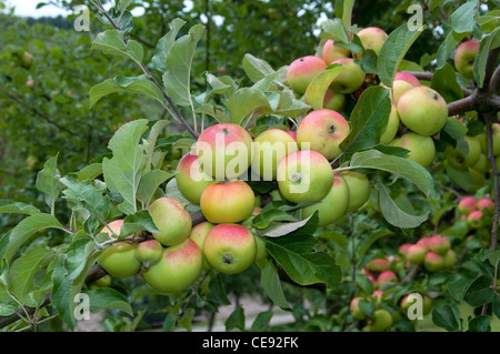 Domestic Apple (Malus domestica), variety: Sommermaschansker. Ripe apples in a tree. - Stock Image