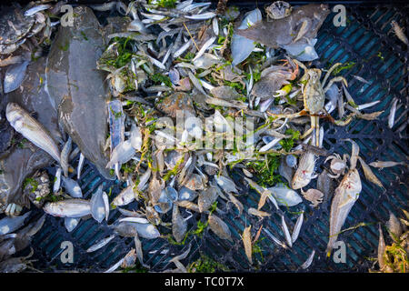 Shrimper's catch from shrimp drag net on the beach showing shrimps, crabs and fish like sole, lesser weever, mackerel caught along the North Sea coast - Stock Image