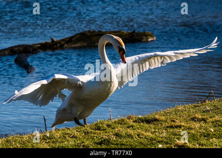 Swan clambering out of the water, Wimpole Estate, Cambridgeshire, UK - Stock Image