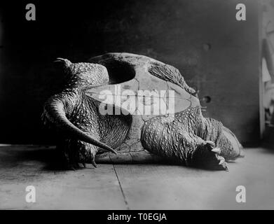 A large snapping turtle lays on its shell on the floor, ca. 1915. - Stock Image