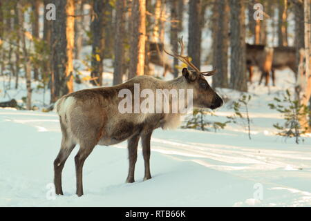 Reindeer (Rangifer tarandus) are searching food in a sunny winter forest in Swedish Lapland. - Stock Image