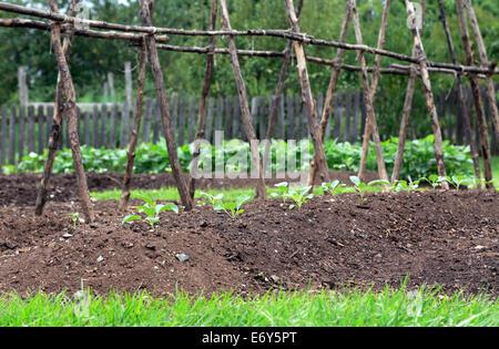Vegetable garden. Cabbage plants. - Stock Image