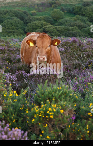 Devon red calf free range on the Quantock Hills, Somerset. - Stock Image