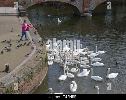 Feeding swans from the bank of the River Avon in Stratford upon Avon, Warwickshire - Stock Image