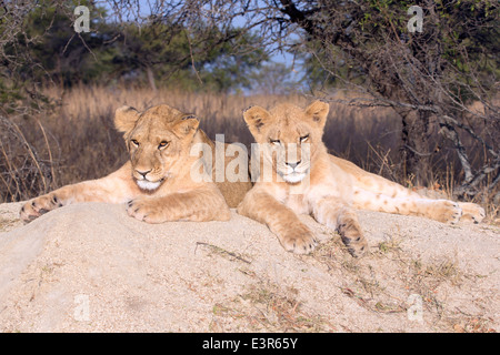 Lion Panthera leo.  A pair of young lion resting on a rock in the mid-day sun planning there next mischief - Stock Image