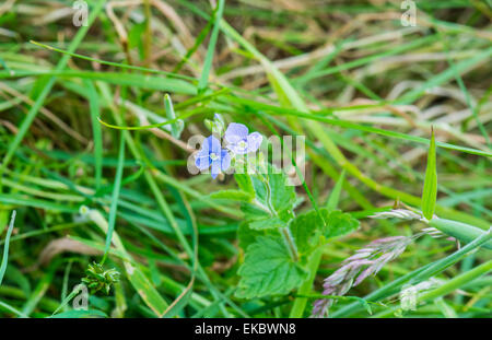 germander speedwell Veronica chamaedrys, Cressbrook Dale NNR Peak District National Park June 2014 - Stock Image
