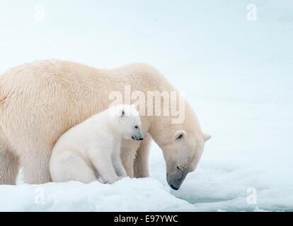 Polar Bear Mother with Cub close beside her, Ursus maritimus, Olgastretet Pack Ice, Spitsbergen, Svalbard Archipelago, - Stock Image