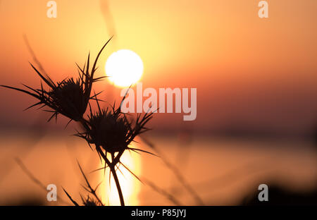 silhouetted spiked thistles exhausted from the days sun, finally getting some relief as the sun sets behind the horizon. East Attica, Greece, Europe. - Stock Image