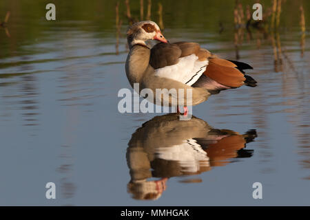 Egyptian Goose (Alpochen aegyptiacus) preening its back feathers whilst standing in a shallow pond - Stock Image