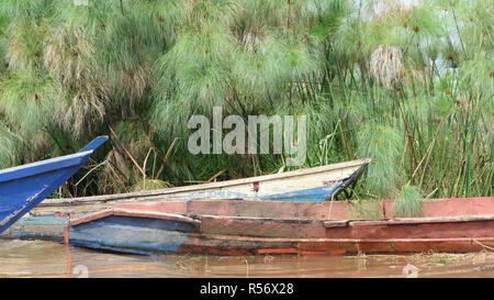 Wooden boats hauled up on the edge of a channel through the papyrus  (Cyperus papyrus) in the Mabamba Swamp on the edge of Lake Victoria.  Mabamba Bay - Stock Image