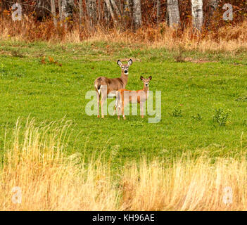 Two curious white-tailed deer near Sussex, Kings County, New Brunswick, Canada. - Stock Image