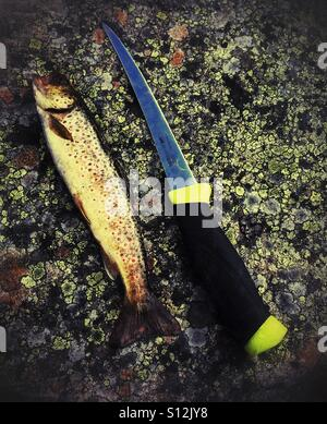 Brown trout - Stock Image