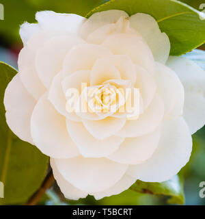 A single white Camellia japonica flower with pink blush - Stock Image