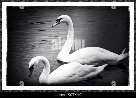 Black-and-white photo of two swans - Stock Image