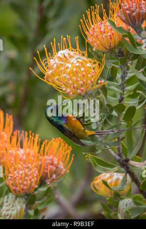 Orange-breasted sunbird (Anthobaphes violacea), Kirstenbosch National Botanical Garden, Cape Town, South Africa - Stock Image