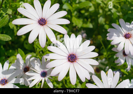 White African Daisies (Osteospermum) blossom - Stock Image