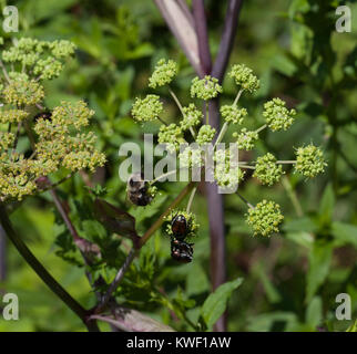 Bumblebee and Japanese Beetles on Mountain Angelica (Angelica triquinata) - Stock Image