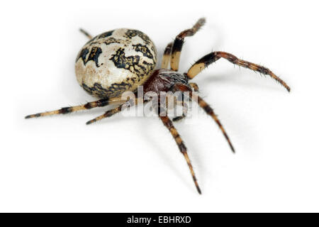 A female Furrow Orbweaver (Larinioides cornutus) on white background. Family Araneidae, Orbweaving spiders. - Stock Image