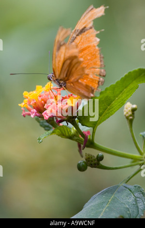Orange julia longwing butterfly on a pink and yellow flower A - Stock Image