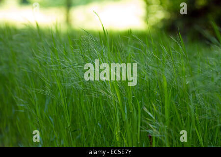 grasses in the wind - Stock Image