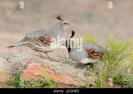USA, Arizona, Amado. Pair of Gambel's quail perched on rock. Credit as: Wendy Kaveney / Jaynes Gallery / DanitaDelimont.com - Stock Image