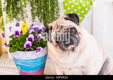 One beautiful pug dog white looking with interest at camera.Best friend close to the flowering vase - Stock Image