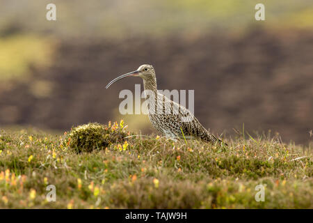 Curlew (Scientific name: Numenius arquata) Adult curlew in the Yorkshire Dales, UK during Springtime and the nesting season.  Facing left. Landscape - Stock Image