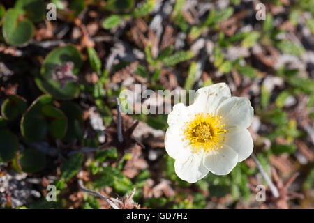 A delicate yellow and white arctic flower grows over a flat layer of ground cover at Mushamna in Spitzbergen - Stock Image