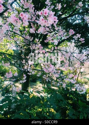 Beautiful, light pink sakura or cherry blossoms in Spring with trees and green leaves in background. - Stock Image