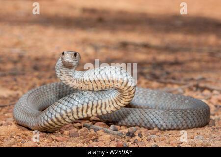 Eastern Brown Snake Pseudonaja textilis - Stock Image