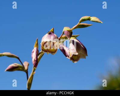 Arching flower stem and bell flowers of the South African corm, Gladiolus papilio, against a summer sky - Stock Image