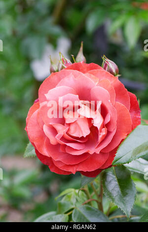 Rosa Hot Chocolate 'Wekpaltlez' flower. - Stock Image