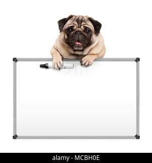 cute pug puppy dog hanging with paws on blank marker white board, promotional sign, isolated on white background - Stock Image
