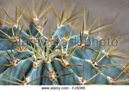 Ferocactus hamatacanthus commonly known as barrel cactus, found in Mexico, New Mexico, and Texas - Stock Image