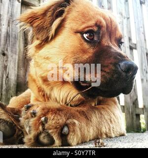 Chow retriever puppy golden brown. - Stock Image