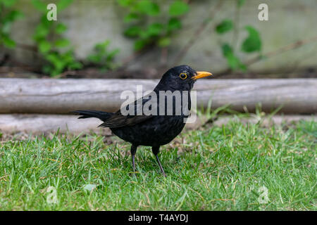 Male blackbird (turdus merula) - Stock Image