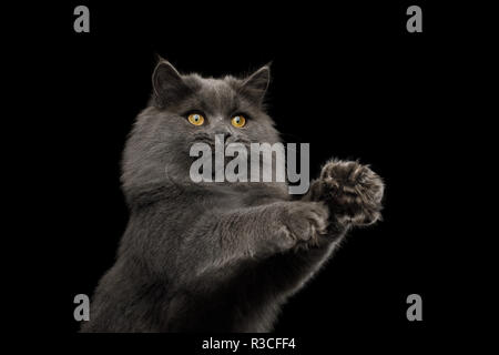 Portrait of Playful Gray Cat with stratched paws want catch on Isolated Black Background - Stock Image