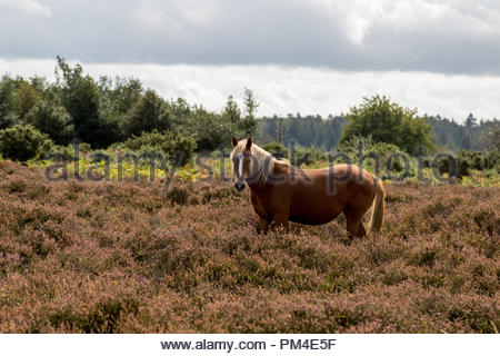 A chestnut brown New Forest pony with a blonde mane and tail standing in a mass of blooming heather. - Stock Image