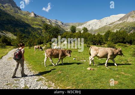 Young female hiker near beef cattle in La Larri valley in Ordesa y Monte Perdido National Park (Sobrarbe, Huesca, Pyrenees, Aragon, Spain) - Stock Image