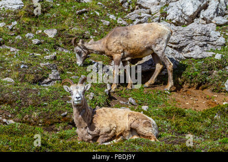 Mountain goats grazing on the summit of Parker Ridge in Jasper National Park in the Canadian Rockies. - Stock Image