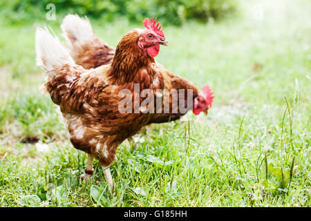 Cockerels in organic farm - Stock Image