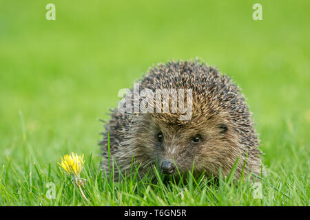 Hedgehog, (Scientific name: Erinaceus Europaeus) wild, native,European hedgehog in natural garden habitat on green grass lawn in Springtime. Landscape - Stock Image