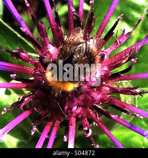 Honey Bee Collecting Nectar - Stock Image