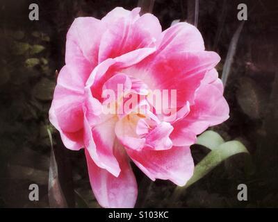 Pink tulip flower - Stock Image