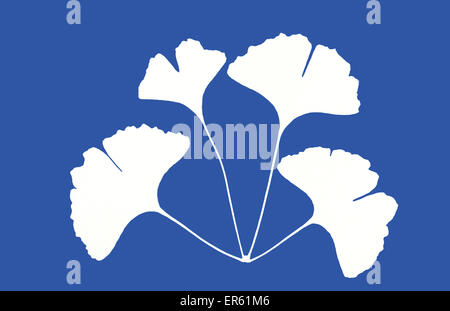 Cyanotype blueprint of maidenhair tree leaves, Ginkgo biloba, made in 1995. Gives a white negative image on blue - Stock Image
