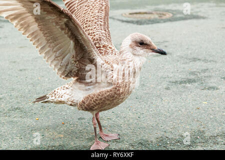 Seagull standing on the street and flapping his wings in the popular seaside town Southwold of the UK - Stock Image