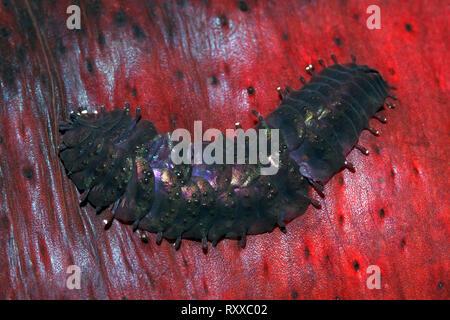 Sea Cucumber Scale Worm, Gastrolepidia clavigera, crawling on its host holothurian, the black sea cucumber, Holothuria atra. Uepi, Solomon Islands. So - Stock Image