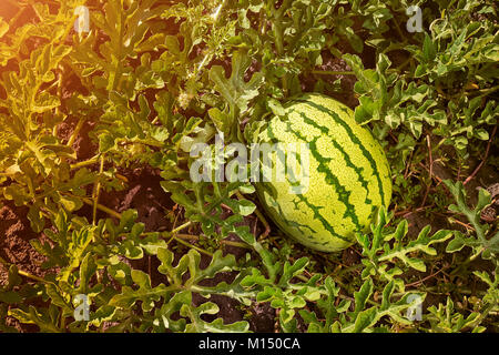 Young green striped watermelon grows on vegetable bed. Large watermelon grows in a garden. Ripe watermelon. - Stock Image