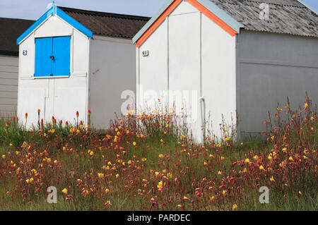 Evening primroses growing around beach huts at Heacham on the Norfolk coast. - Stock Image